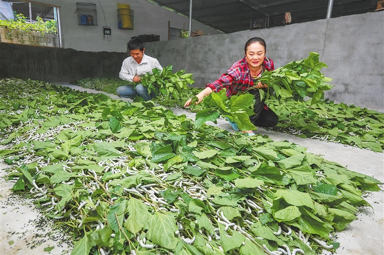 组图丨琼中小桑蚕吐出扶贫大产业